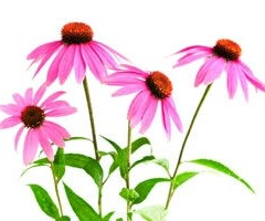 The Truth About Echinacea