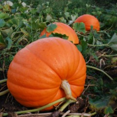 Pumpkin – The Wonder Veggie